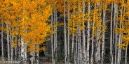 Aspen Autumn Panorama