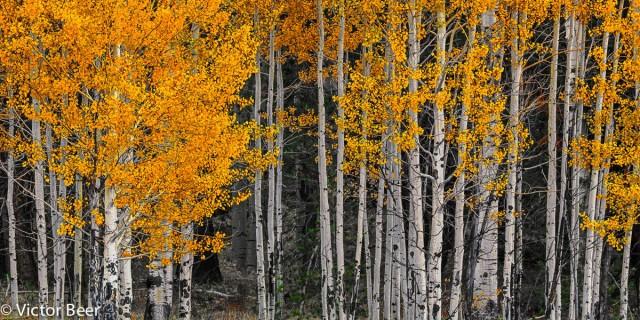 Aspen Autumn Panorama